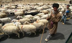 Sheep herder, Kashgar Xinjiang. Photo by Brian Lander.